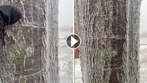 ظاهرة غريبة لذوبان شجرة مجمدة من الداخل! فيديو